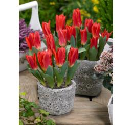 Tulipa ´Scarlet Baby´ / Tulipán, bal. 5 ks, 11/12
