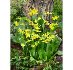Erythronium ´Pagoda´ / Kandík žltý, bal. 3 ks, I.