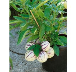 Solanum muricatum / Pepino Gold, 20 cm, K9