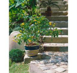 Cassia corymbosa / Kasia zlatožltá, K9