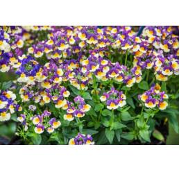 Nemesia x fruticans Mareto® Bicolor Magenta / Nemesia, K7
