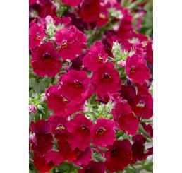 Nemesia x hybrida Lyric® Cherry  / Nemesia, bal. 3 ks, 3x K7
