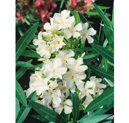 Nerium oleander ´Double White´ / Oleander plnokvetý biely, 20 cm, K9