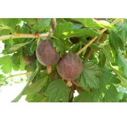 Ribes grossularia ´Niesluchowski´ / Egreš červený rezistentný, krík štepený, VK, 2-3 výh.