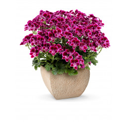 Pelargonium crispum Angelseyes ´Cassis´ / Muškát anglický fialový, bal. 6 ks sadbovačov