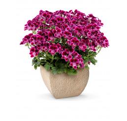 Pelargonium crispum Angelseyes ´Cassis´ / Muškát anglický fialový, bal. 3 ks, 3x K7