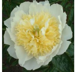 Paeonia x hybrida ´Primevere´ / Pivonka bylinná, C1