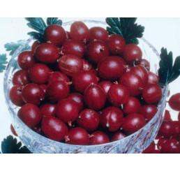 Ribes grossularia ´Pax®´ / Egreš červený rezistentný beztŕnny , krík