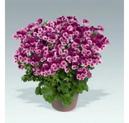 Pelargonium crispum Angelseyes ´Burgundy Red´ / Muškát anglický fialový, bal. 3 ks, 3x K7