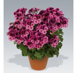 Pelargonium Candy Flowers® ´Pink with Eye´ / Muškát ružový, bal. 6 ks sadbovačov