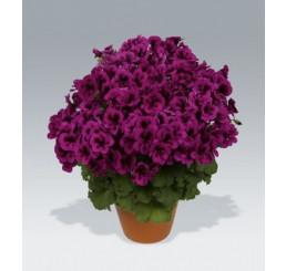 Pelargonium Candy Flowers® ´Violet´ / Muškát, bal. 6 ks sadbovačov