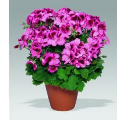 Pelargonium grandiflorum ´Aristo Apricot´ / Muškát veľkokvetý ružový, bal. 3 ks, 3x K7