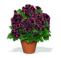 Pelargonium grandiflorum ´Aristo Beauty´ / Muškát veľkokvetý červený, bal. 3 ks, 3x K7