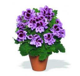 Pelargonium grandiflorum ´Aristo Lavender´ / Muškát veľkokvetý fialový, bal. 3 ks, 3x K7
