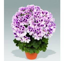 Pelargonium grandiflorum PAC® ´Aristo Petticoat´ / Muškát veľkokvetý, bal. 6 ks sadbovačov
