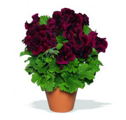 Pelargonium grandiflorum ´Aristo Schoko´ / Muškát veľkokvetý červený, bal. 6 ks sadbovačov