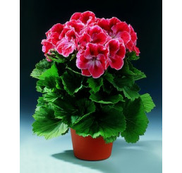 Pelargonium grandiflorum ´Mandarin´ / Muškát veľkokvetý červený, bal. 6 ks sadbovačov
