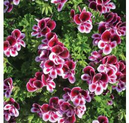 Pelargonium duft ´pac®Angels Perfume´ / Muškát voňavý, bal. 6 ks sadbovačov