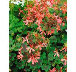 Pelargonium pelt. PAC® ´Apricot´ / Muškát previsnutý, bal. 6 ks sadbovačov