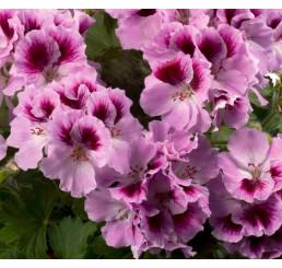 Pelargonium grandiflorum ´pac®Aristo® Orchid´ / Muškát veľkokvetý, bal. 6 ks sadbovačov