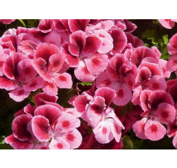Pelargonium Candy Flowers® ´Pink with Eye´ / Muškát ružový, bal. 3 ks, 3x K7