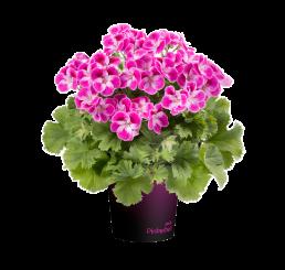Pelargonium grandiflorum pac® Pinkerbell®  / Muškát veľkokvetý , bal. 6 ks sadbovačov