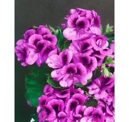 Pelargonium grandiflorum ´Clarion® ´Violet´ / Muškát, bal. 6 ks sadbovačov