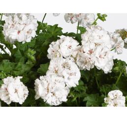 Pelargonium pelt. ´pac®White Pearl´ / Muškát, K7
