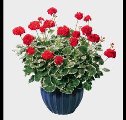 Pelargonium pac® Pelgardini® ´Wilhelm Langguth´ / Muškát krúžkový, K7