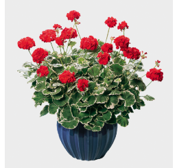 Pelargonium pac® Pelgardini® ´Wilhelm Langguth´ / Muškát krúžkový, bal. 6 ks sadbovačov