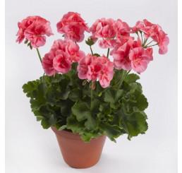 Pelargonium zonale ´pac® TWOinONE® ´Peach´  / Muškát vzpriamený, bal. 6 ks sadbovačov