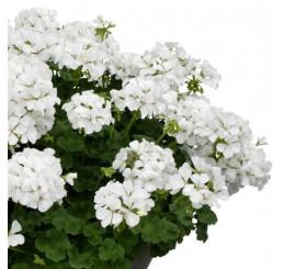 Pelargonium zonale ´pac®TWOinONE® White  / Muškát vzpriamený, bal. 6 ks sadbovačov