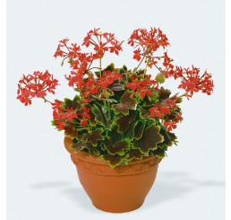 Pelargonium pac® Pelgardini® Vancouver Centennial / Muškát krúžkový, bal. 6 ks sadbovačov