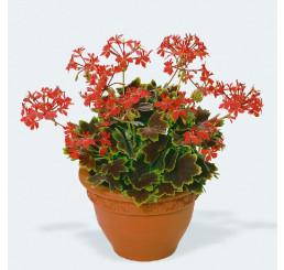 Pelargonium pac® Pelgardini® Vancouver Centennial / Muškát krúžkový, bal. 3 ks, 3xK7
