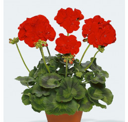 Pelargonium zonale pac®´ Victoria´ / Muškát krúžkový, bal. 6 ks sadbovačov