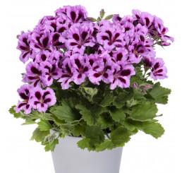 Pelargonium grandiflorum ´Aristo Lilac Purple´ / Muškát veľkokvetý fialový, bal. 3 ks, 3x K7
