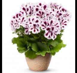 Pelargonium grandiflorum PAC® ´Aristo Purple Stripes´ / Muškát veľkokvetý, bal. 6 ks sadbovačov