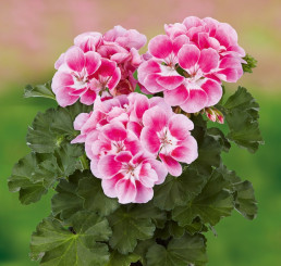 Pelargonium x zonale Grandeur® Dark Pinkberry  / Muškát , bal. 6 ks sadbovačov
