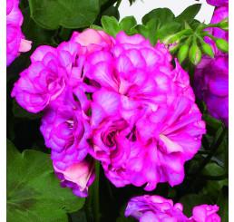 Pelargonium pelt. Grandeur® ´Ivy Arctic Rose´ / Muškát previsnutý, bal. 6 ks sadbovačov