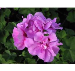 Pelargonium pelt. PAC® ´Amelit´ / Muškát previsnutý, bal. 6 ks sadbovačov