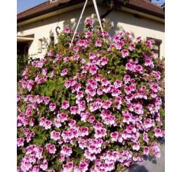 Pelargonium crispum Angeleyes® ´Bicolor´ / Muškát anglický, bal. 6 ks sadbovačov