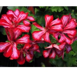 Pelargonium pelt. PAC® ´Global Stars and Stripes´ / Muškát previsnutý, bal. 6 ks sadbovačov