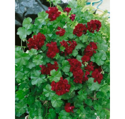 Pelargonium pelt. PAC® ´Tommy´ / Muškát, bal. 3 ks, 3xK7
