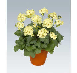 Pelargonium zonale ´pac®First Yellow® Improved®´ / Muškát vzpriamený žltý, bal. 6 ks sadbovačov