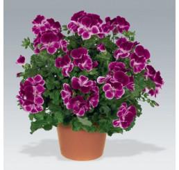 Pelargonium crispum Angelseyes ´Burgundy´ / Muškát anglický fialový, bal. 6 ks sadbovačov