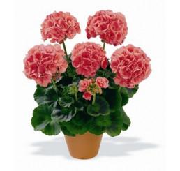 Pelargonium zonale ´Bergpalais´ / Muškát krúžkový lososový, bal. 3 ks, 3xK7