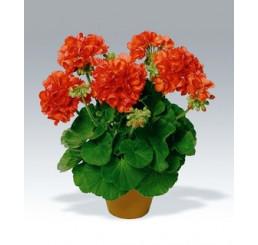 Pelargonium zonale ´Perlenkette Orange´ / Muškát krúžkový oranžový, bal. 6 ks sadbovačov