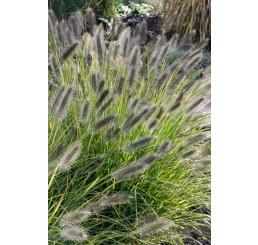 Pennisetum alopecuroides ´Black Beauty´ / Perovec, K9