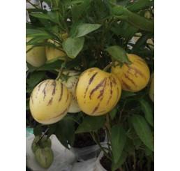 Solanum muricatum ´Copa®´ / Pepino Gold, 10-15 cm, K7