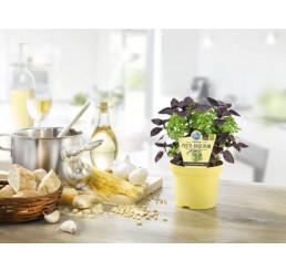 BIO Ocimum basalicum ´PESTO´/ BIO Bazalka-Pesto, K12